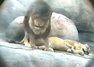 The lion and his girlfriend have sex on the cam